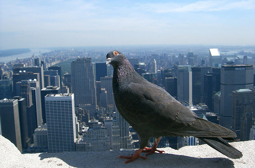 """Pigeon on the Empire State Building"" captured by Malcolm Wade"