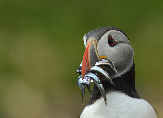 puffin photography